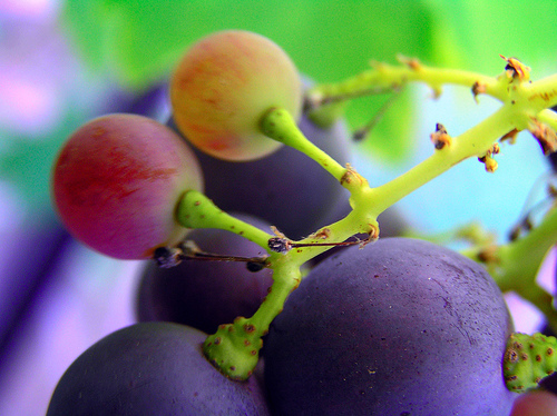 Grape seed extract kills head and neck cancer cells, leaves healthy cells unharmed