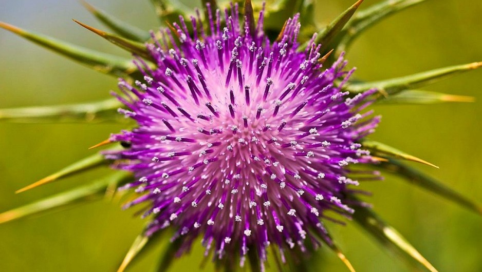 Oral milk thistle extract stops colorectal cancer stem cells from growing tumors